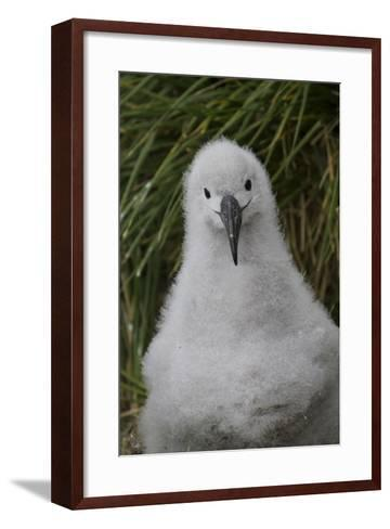 A Curious Grey Headed Albatross Chick at Elsehul Bay on South Georgia Island-Michael Melford-Framed Art Print
