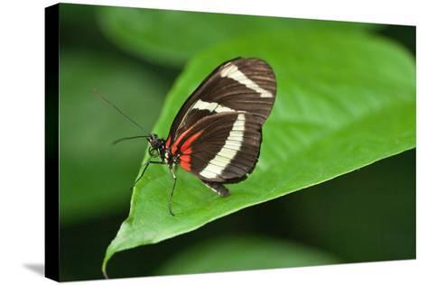 A Hewitson's Longwing Butterfly, Heliconius Hewitsoni-Vickie Lewis-Stretched Canvas Print