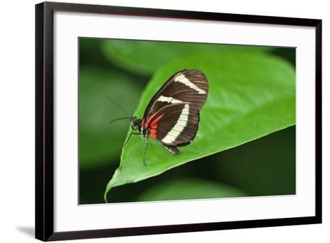 A Hewitson's Longwing Butterfly, Heliconius Hewitsoni-Vickie Lewis-Framed Art Print