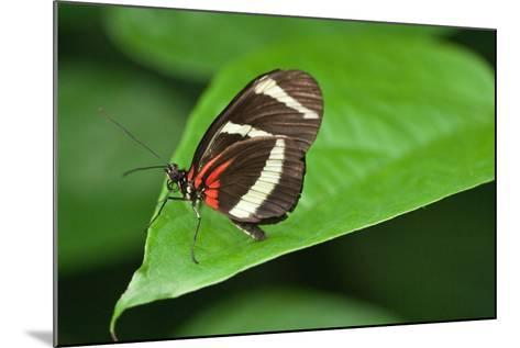 A Hewitson's Longwing Butterfly, Heliconius Hewitsoni-Vickie Lewis-Mounted Photographic Print