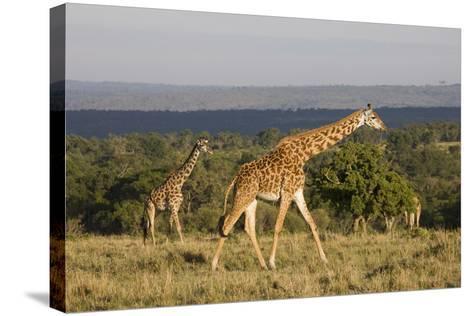 Masai Giraffe (Giraffa Camelopardalis Tippelskirchi)-Angelo Cavalli-Stretched Canvas Print