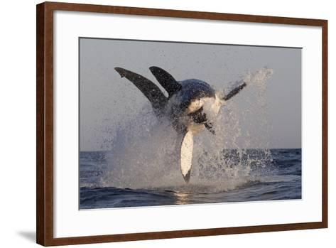Great White Shark (Carcharodon Carcharias)-David Jenkins-Framed Art Print