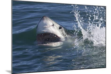 Great White Shark (Carcharodon Carcharias)-David Jenkins-Mounted Photographic Print