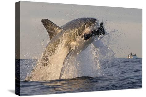 Great White Shark (Carcharodon Carcharias)-David Jenkins-Stretched Canvas Print