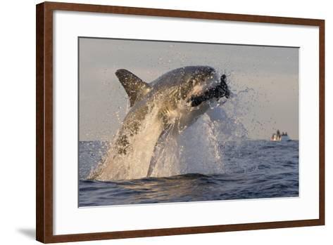 Great White Shark (Carcharodon Carcharias)-David Jenkins-Framed Art Print