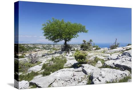 Single Tree on a Plateau, Vidova Gora, Brac Island, Dalmatia, Croatia, Europe-Markus Lange-Stretched Canvas Print