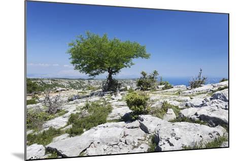 Single Tree on a Plateau, Vidova Gora, Brac Island, Dalmatia, Croatia, Europe-Markus Lange-Mounted Photographic Print