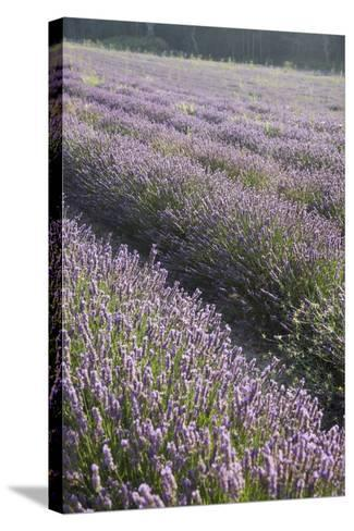 Lavender Fields, Provence, France, Europe-Angelo Cavalli-Stretched Canvas Print