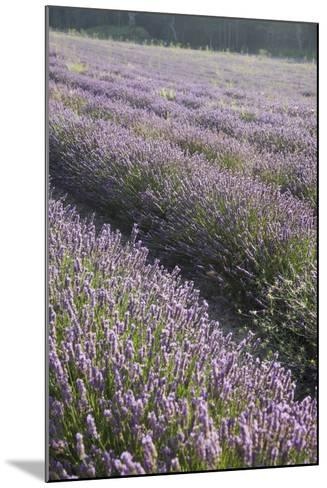 Lavender Fields, Provence, France, Europe-Angelo Cavalli-Mounted Photographic Print