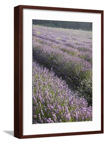 Lavender Fields, Provence, France, Europe-Angelo Cavalli-Framed Art Print