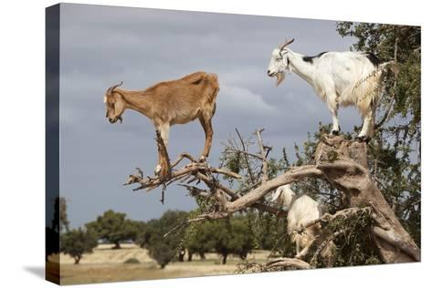 Goats Up Argan Tree, Near Essaouira, Morocco, North Africa, Africa-Stuart Black-Stretched Canvas Print