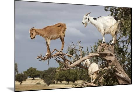 Goats Up Argan Tree, Near Essaouira, Morocco, North Africa, Africa-Stuart Black-Mounted Photographic Print