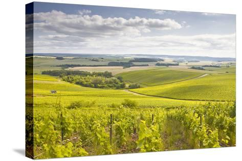 Champagne Vineyards in the Cote Des Bar Area of Aube, Champagne-Ardenne, France, Europe-Julian Elliott-Stretched Canvas Print