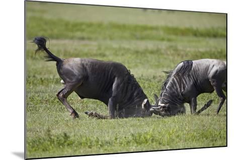 Two Blue Wildebeest (Brindled Gnu) (Connochaetes Taurinus) Bulls Fighting-James Hager-Mounted Photographic Print
