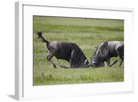 Two Blue Wildebeest (Brindled Gnu) (Connochaetes Taurinus) Bulls Fighting-James Hager-Framed Art Print