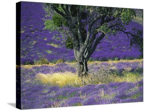 Lavender Field, Vaucluse, Sault, Provence-Alpes-Cote D'Azur, France-Bruno Morandi-Stretched Canvas Print