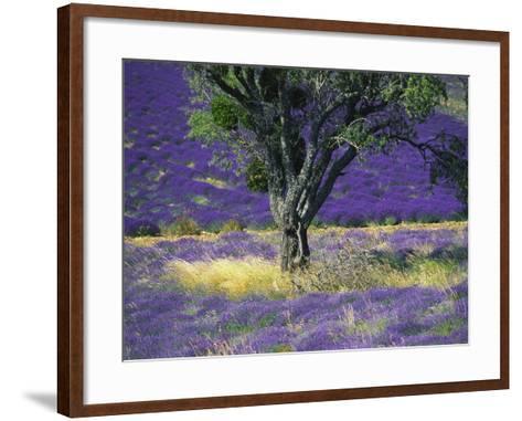 Lavender Field, Vaucluse, Sault, Provence-Alpes-Cote D'Azur, France-Bruno Morandi-Framed Art Print