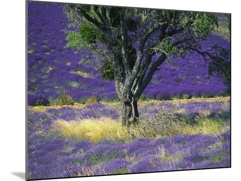 Lavender Field, Vaucluse, Sault, Provence-Alpes-Cote D'Azur, France-Bruno Morandi-Mounted Photographic Print