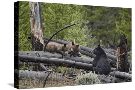 Black Bear (Ursus Americanus) Sow and Two Yearling Cubs-James Hager-Stretched Canvas Print