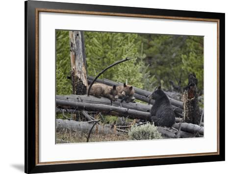 Black Bear (Ursus Americanus) Sow and Two Yearling Cubs-James Hager-Framed Art Print