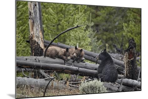 Black Bear (Ursus Americanus) Sow and Two Yearling Cubs-James Hager-Mounted Photographic Print