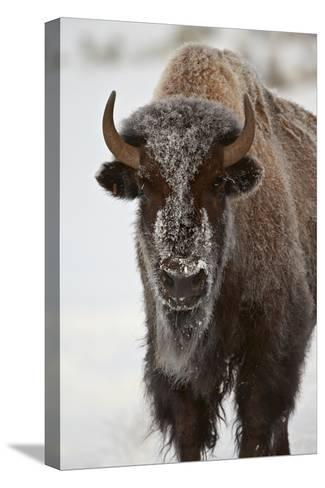Bison (Bison Bison) Cow in the Winter-James Hager-Stretched Canvas Print