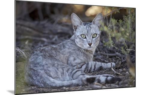 African Wild Cat (Felis Silvestris Lybica)-James Hager-Mounted Photographic Print