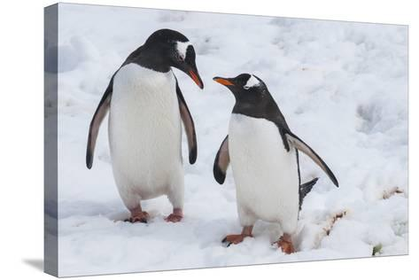 Gentoo Penguins (Pygoscelis Papua), Mikkelson Island, Antarctica, Polar Regions-Michael Runkel-Stretched Canvas Print