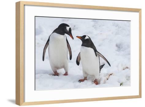 Gentoo Penguins (Pygoscelis Papua), Mikkelson Island, Antarctica, Polar Regions-Michael Runkel-Framed Art Print