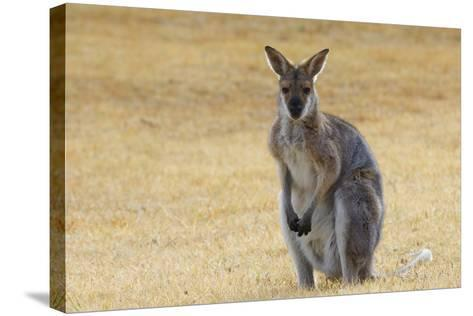 Red Neck Wallaby, Queensland, Australia, Pacific-Jochen Schlenker-Stretched Canvas Print