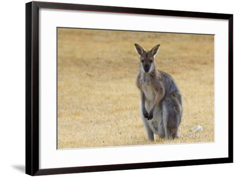 Red Neck Wallaby, Queensland, Australia, Pacific-Jochen Schlenker-Framed Art Print