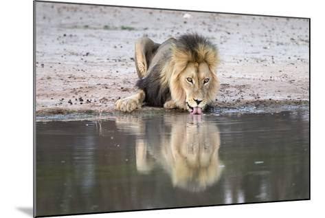 Lion (Panthera Leo) Drinking, Kgalagadi Transfrontier Park, South Africa, Africa-Ann and Steve Toon-Mounted Photographic Print