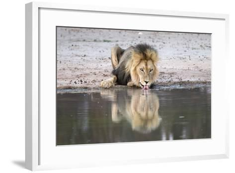 Lion (Panthera Leo) Drinking, Kgalagadi Transfrontier Park, South Africa, Africa-Ann and Steve Toon-Framed Art Print