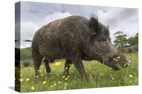 Wild Boar (Sus Scrofa), Captive, United Kingdom, Europe-Ann and Steve Toon-Stretched Canvas Print