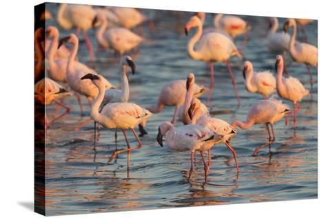 Greater Flamingoes (Phoenicopterus Ruber) and Lesser Flamingoes (Phoenicopterus Minor)-Ann and Steve Toon-Stretched Canvas Print