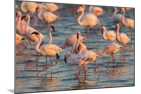 Greater Flamingoes (Phoenicopterus Ruber) and Lesser Flamingoes (Phoenicopterus Minor)-Ann and Steve Toon-Mounted Photographic Print