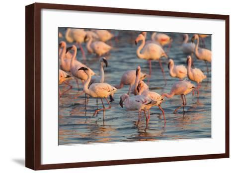 Greater Flamingoes (Phoenicopterus Ruber) and Lesser Flamingoes (Phoenicopterus Minor)-Ann and Steve Toon-Framed Art Print