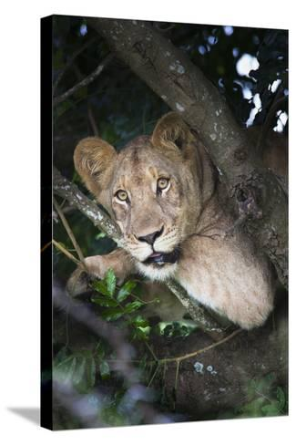 Lion (Panthera Leo) in Tree, Phinda Private Game Reserve, South Africa, Africa-Ann and Steve Toon-Stretched Canvas Print