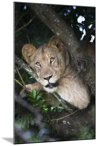 Lion (Panthera Leo) in Tree, Phinda Private Game Reserve, South Africa, Africa-Ann and Steve Toon-Mounted Photographic Print