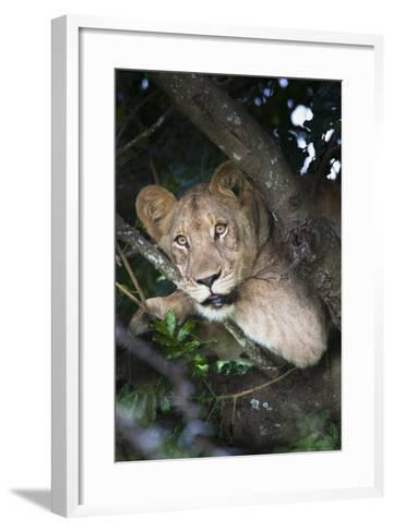 Lion (Panthera Leo) in Tree, Phinda Private Game Reserve, South Africa, Africa-Ann and Steve Toon-Framed Art Print