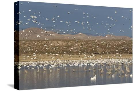 Greater Sandhill Cranes (Grus Canadensis Tabida) Gray in Color-Richard Maschmeyer-Stretched Canvas Print