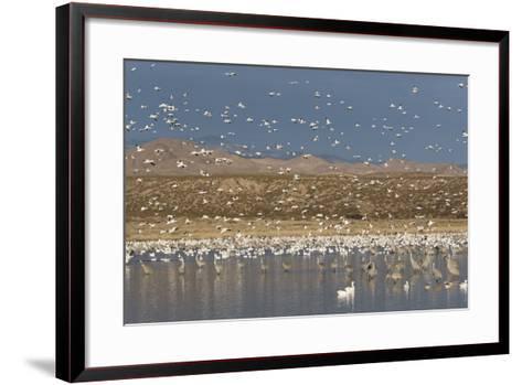 Greater Sandhill Cranes (Grus Canadensis Tabida) Gray in Color-Richard Maschmeyer-Framed Art Print