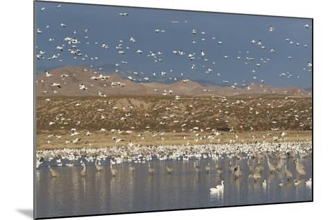 Greater Sandhill Cranes (Grus Canadensis Tabida) Gray in Color-Richard Maschmeyer-Mounted Photographic Print