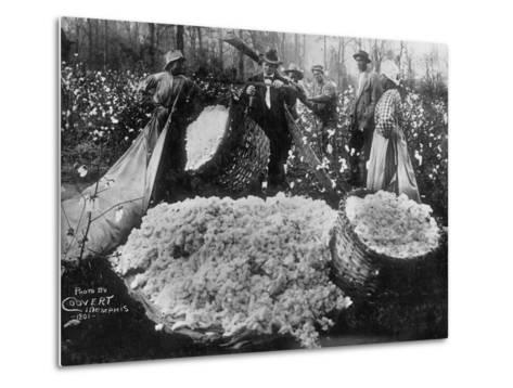 Manager Weighing Picked Cotton--Metal Print
