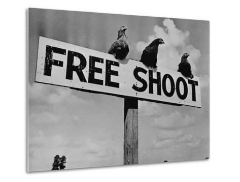 "Grouse on ""Free Shoot"" Sign--Metal Print"