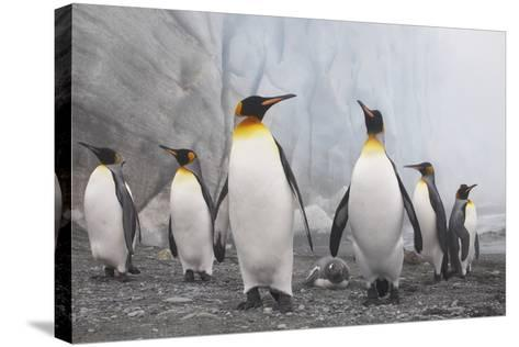 King and Gentoo Penguins on South Georgia Island--Stretched Canvas Print