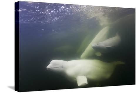 Beluga Whale, Hudson Bay, Canada--Stretched Canvas Print