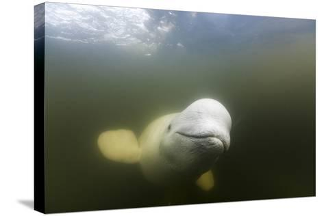 Beluga Whale, Hudson Bay, Canada--Stretched Canvas Print