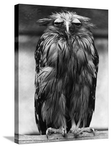 Javan Fish-Owl--Stretched Canvas Print