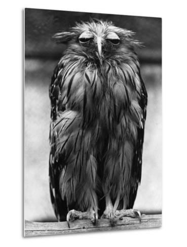 Javan Fish-Owl--Metal Print